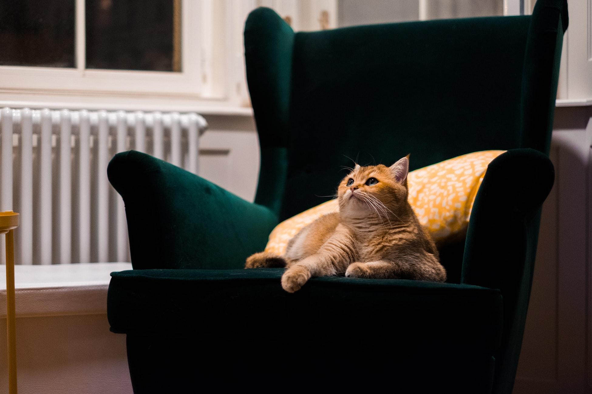 cat on velvet armchair