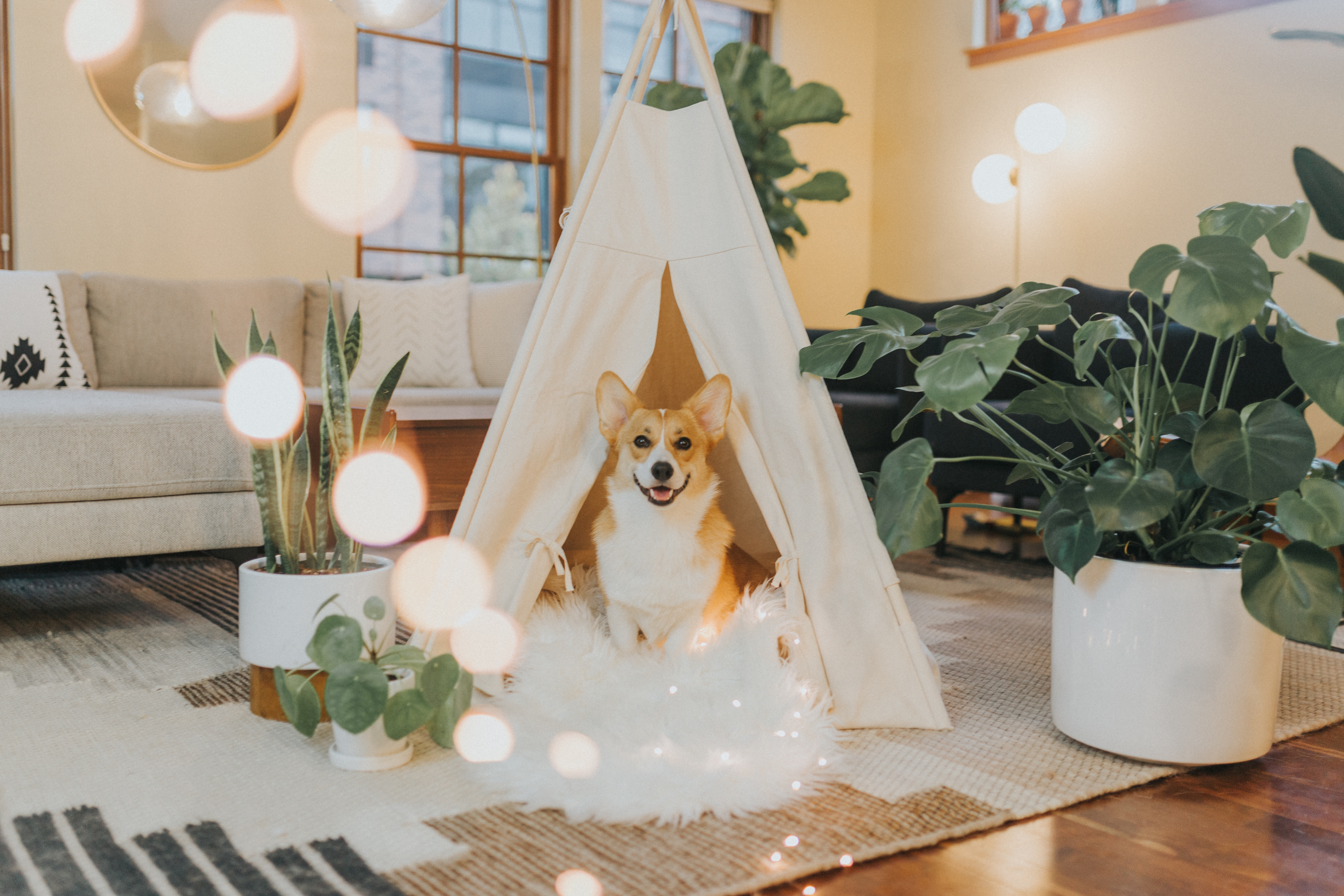 corgi in tent behind house plants
